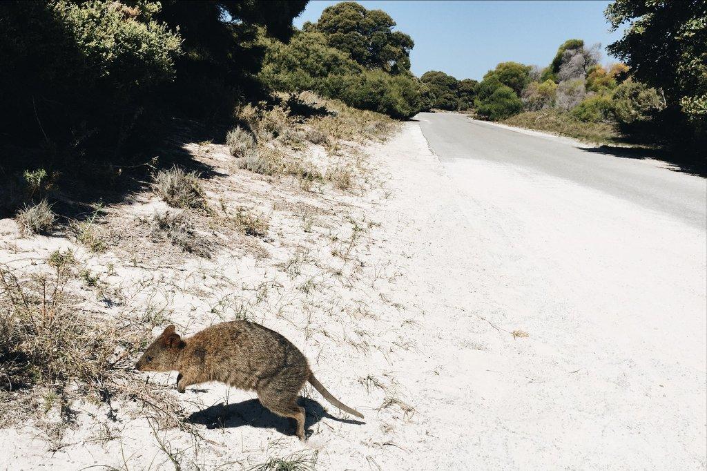 Quokkas Rottnest island Australien Tiere