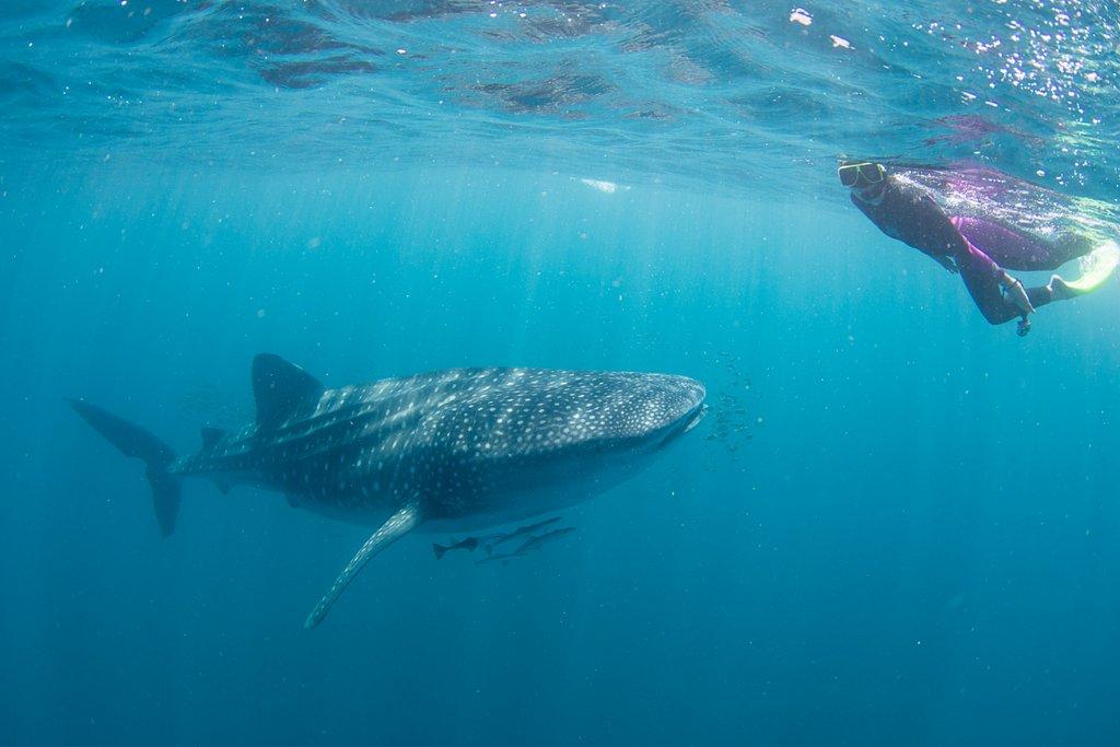 Mit Walhaien schwimmen Australien Highlight