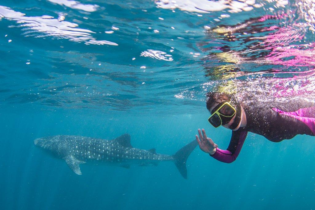 Mit Walhaien schwimmen Australien