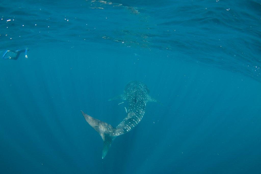 Schnorcheln mit Walhaien Exmouth Australien