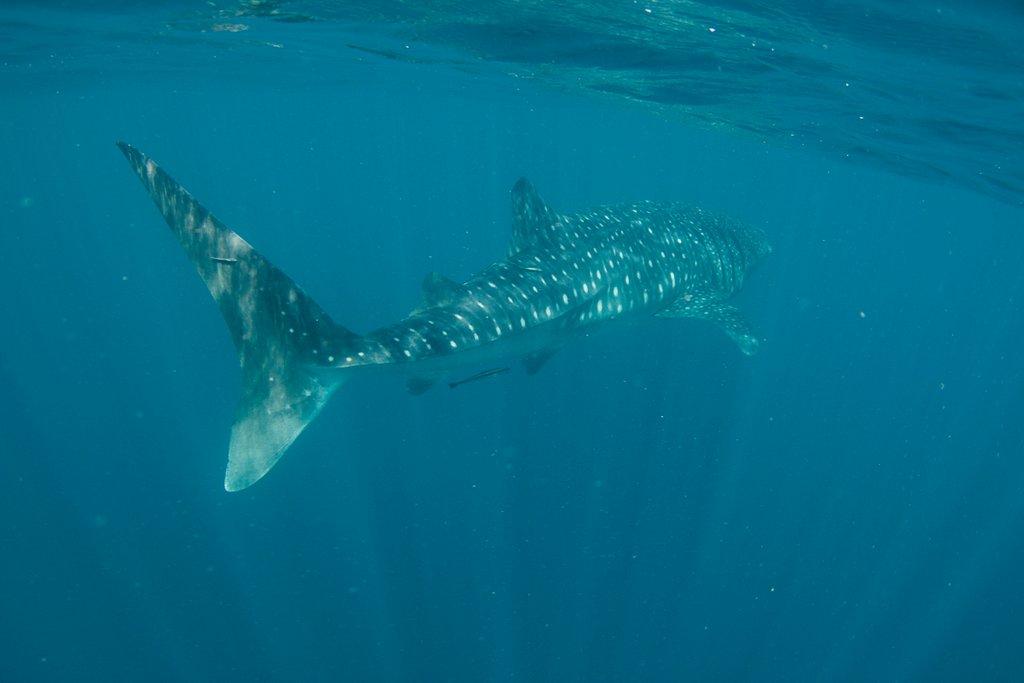 Walhai schnorcheln Australien
