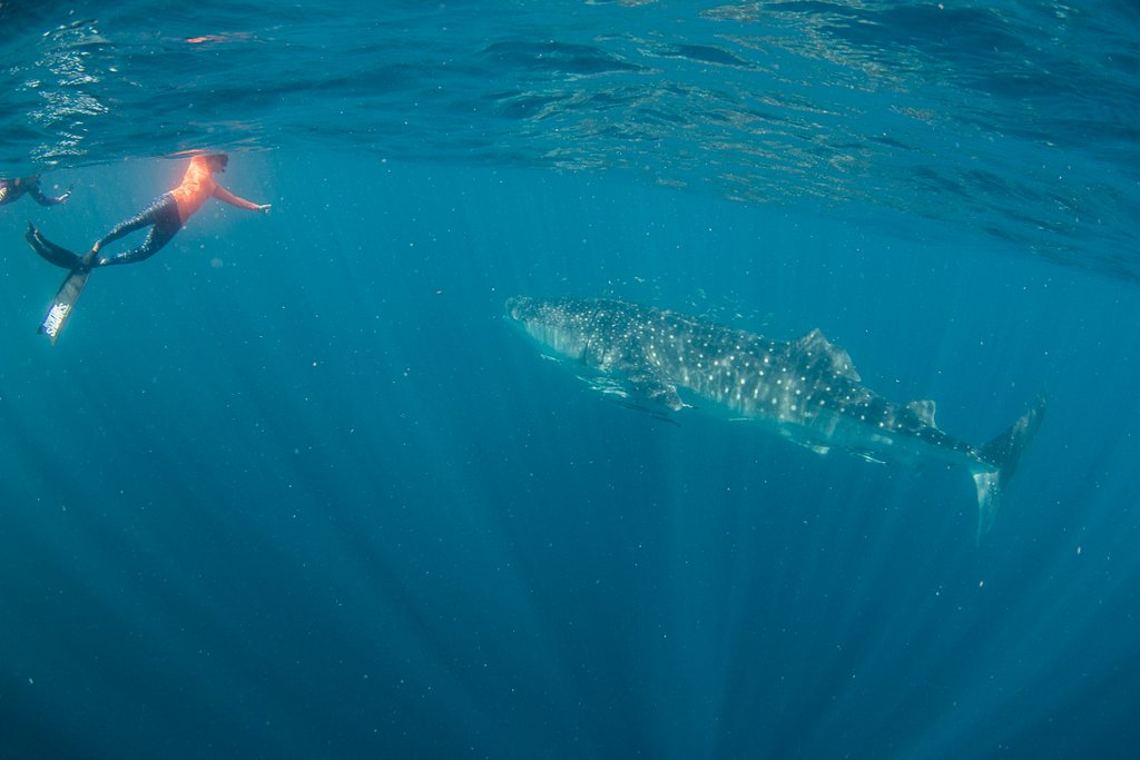Walhai schwimmen Westkueste Australien