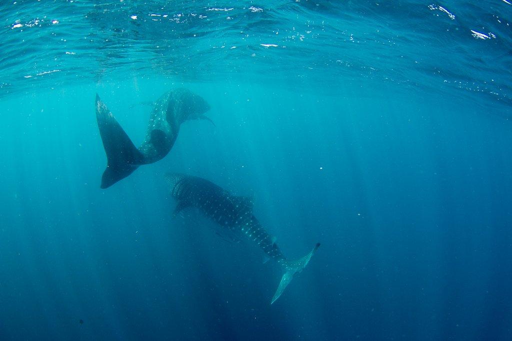 Walhaie Ningaloo Reef Australien