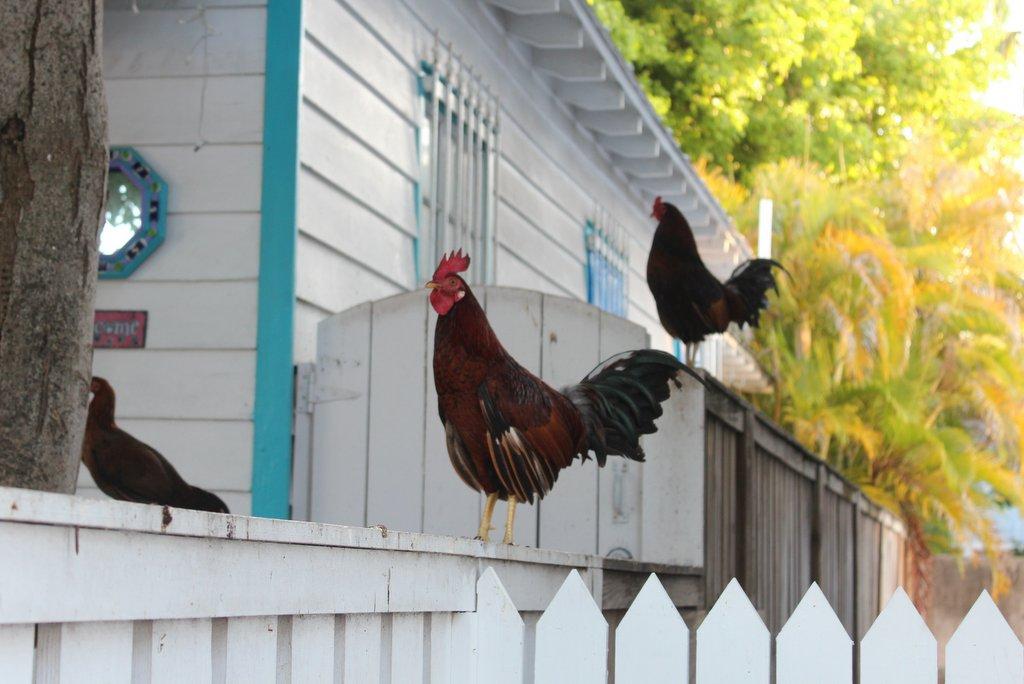 Haehne Huehner Key West
