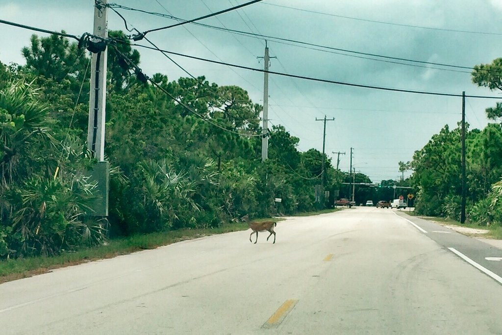 Key-Deer-Big-Pine-Key-Florida