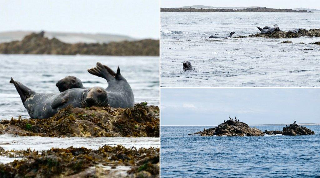 Kegelrobben Voegel Meeresnaturpark Iroise Bretagne