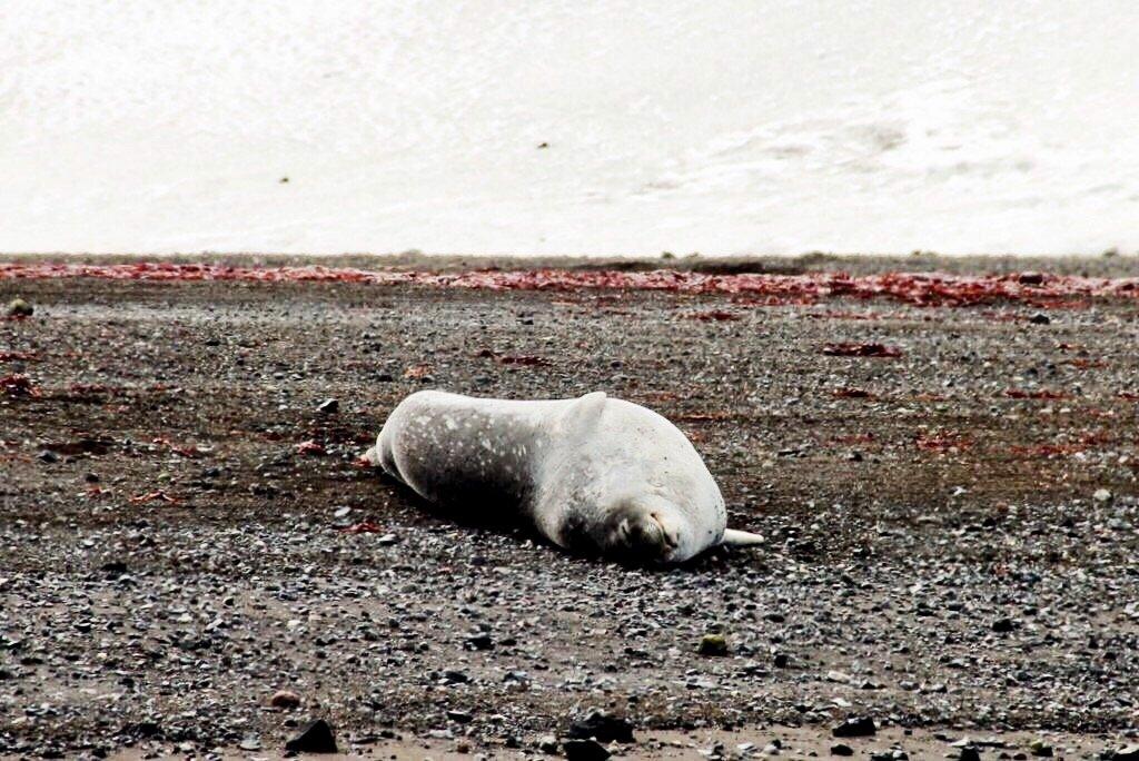 Robbe-am-Strand-Antarktis