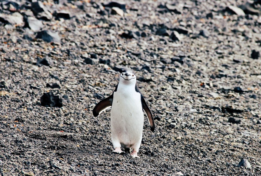 Zuegelpinguin-Antarktis-Deception-Island