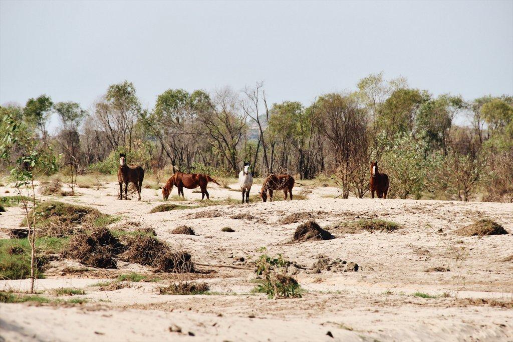 Kakadu-Arnhemland-wilde-Pferde