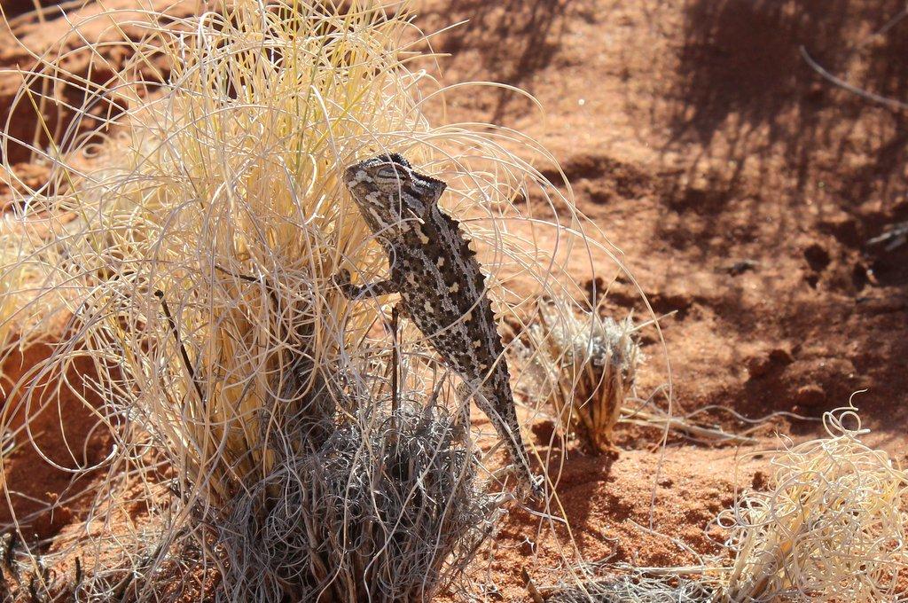 Chamaeleon Namib Wueste Namibia