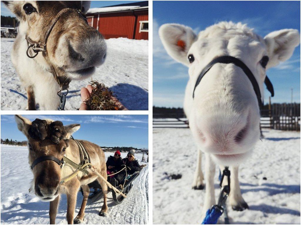 Fahrt mit dem Rentierschlitten Finnland Lappland Winter