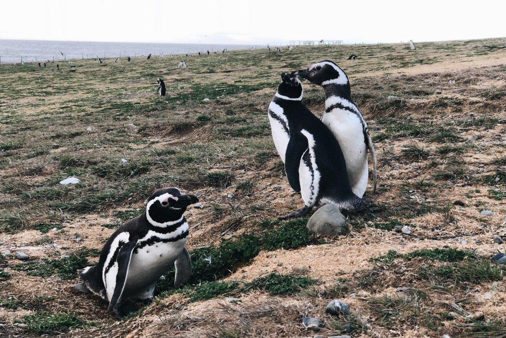 Isla-Magdalena-Patagonien-Chile-Pinguine