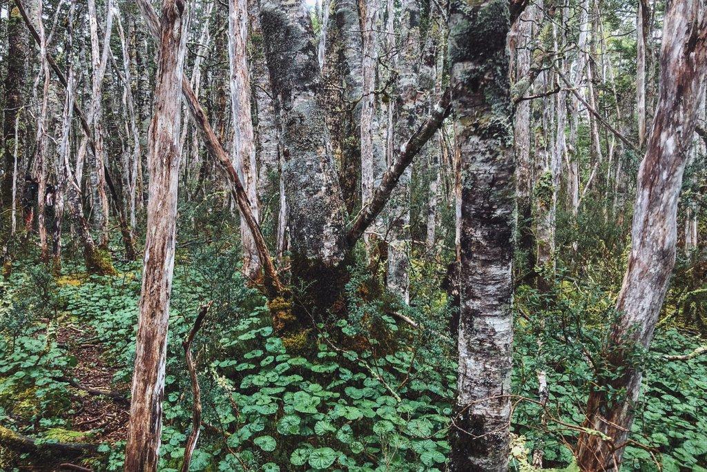 Regenwald-Patagonien-Feuerland