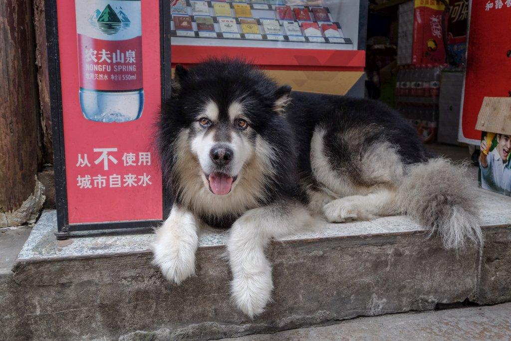 China Hund