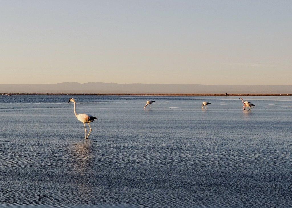 Atacama-Chile-Laguna-Chaxa-Flamingos