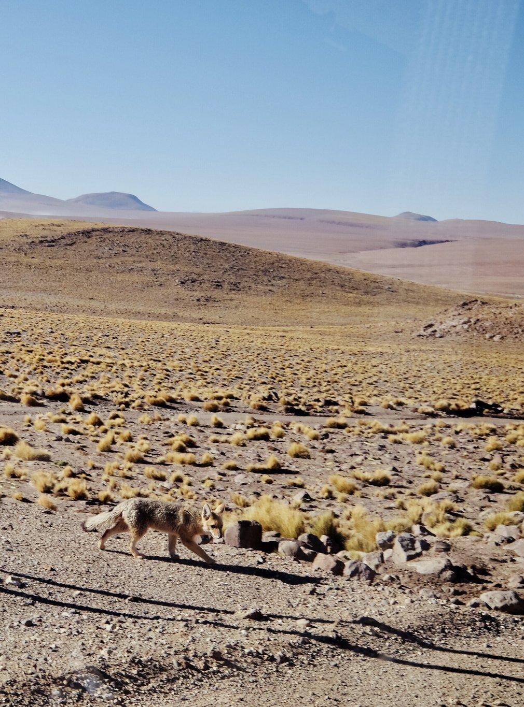 Atacama-Wueste-Fuchs
