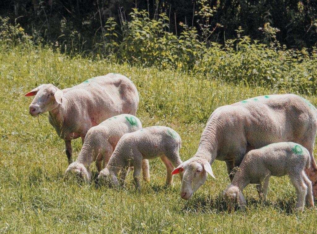 Schafe-Schwaebische-Alb