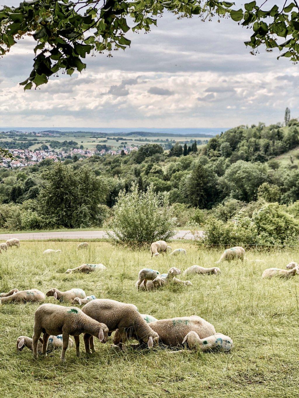 Wandern-Schwaebische-Alb-Schafe-Hohenneuffen