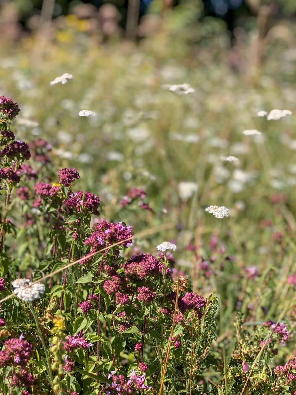 Blumenwiese Sommer Ostalb