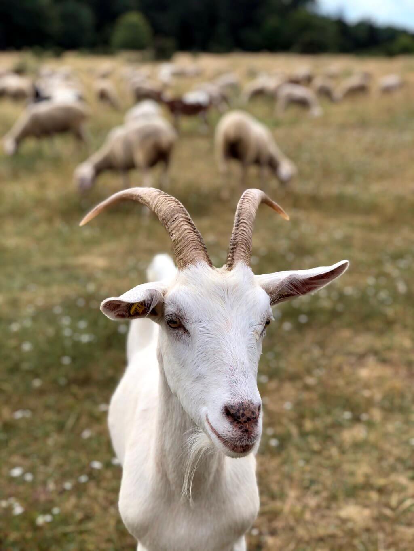Ziegen und Schafe Ostalb